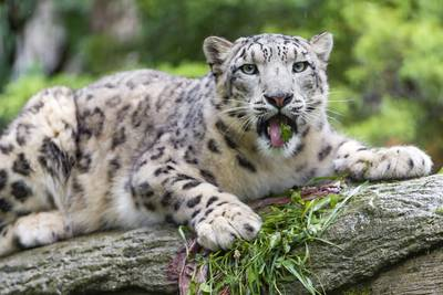 Michigan zoo announces death of 18-year-old snow leopard